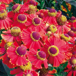 Helenium 'Red Jewel' 2L