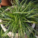 Carex oshimensis 'Everlime' 2L
