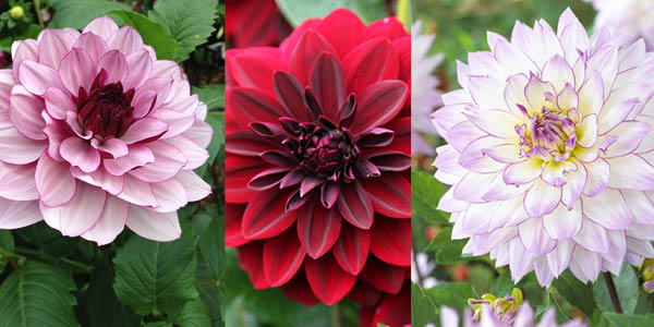'Creme de Cassis', 'Arabian Night' and 'Crazy Love'